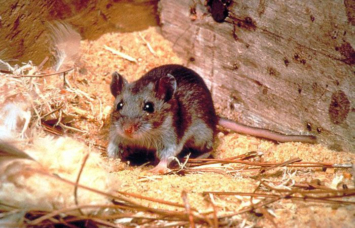 rats-are-pests-not-pets