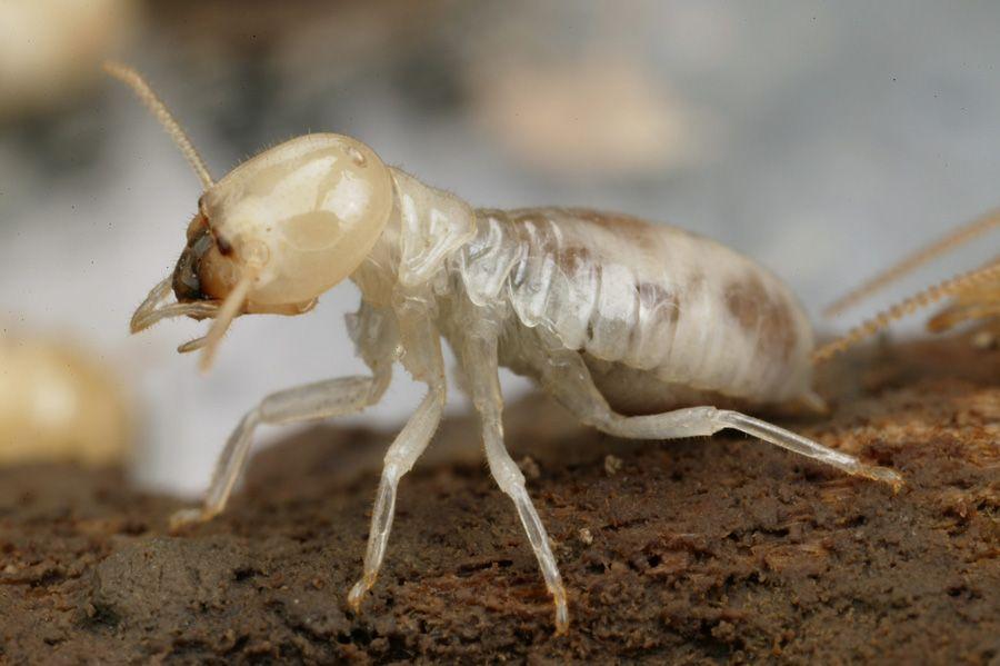 bitey-termitey