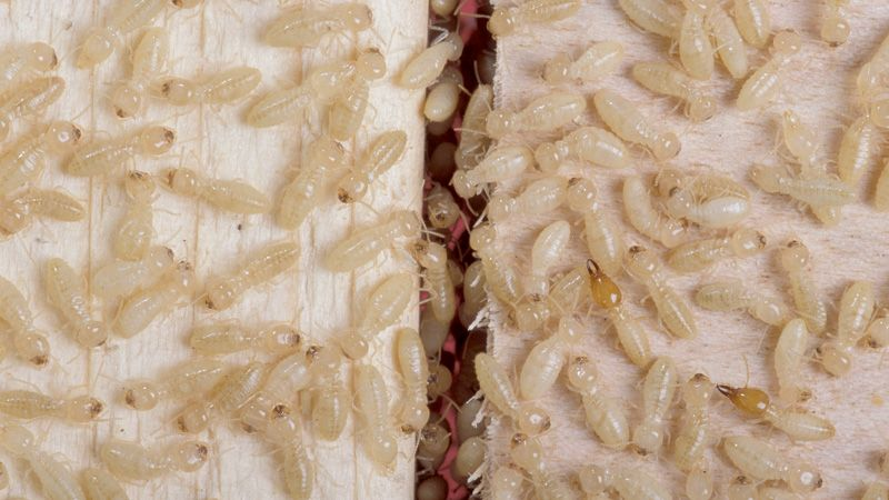pests-termites-gauteng
