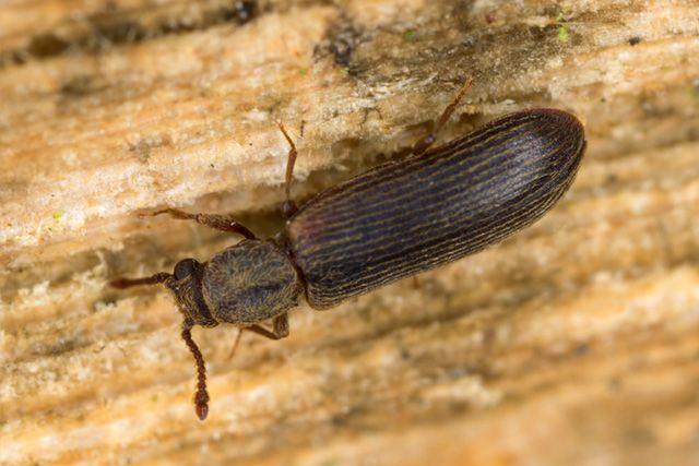 pest-wood-borer
